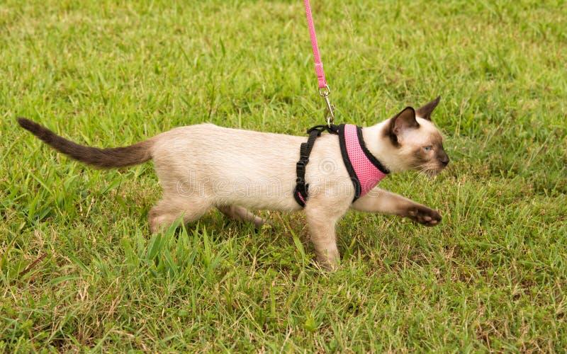 Vue de côté d'un chaton siamois mignon utilisant un harnais images stock