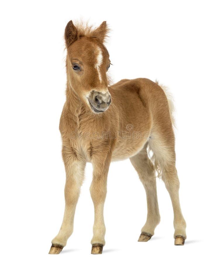 Vue de côté d'un poney, poulain faisant face sur le fond blanc image stock