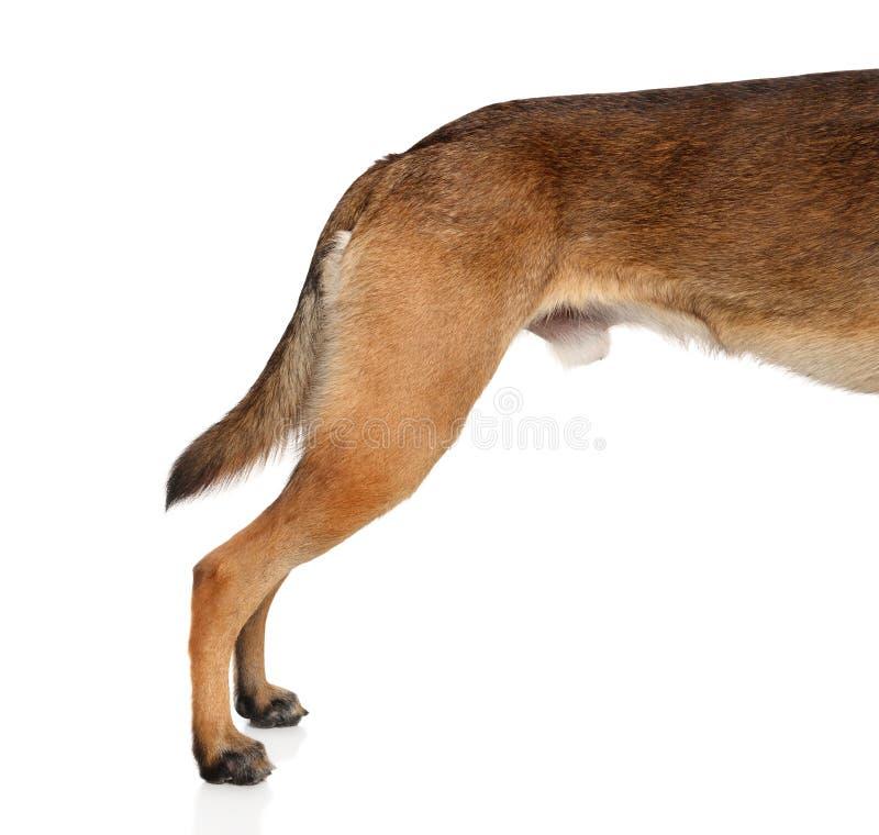 Vue de côté de jambes de derrière de chien de berger sur le fond blanc photos stock