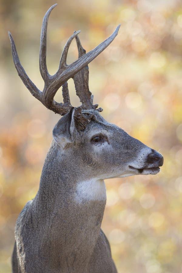 Vue de côté de portrait de mâle de Whitetail image stock