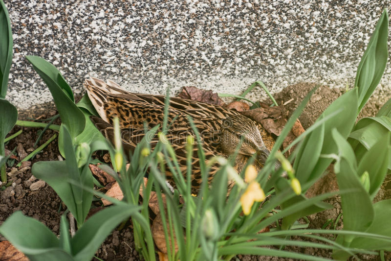 Vue de côté du broyage de canard de Mallard dans le jardin photographie stock
