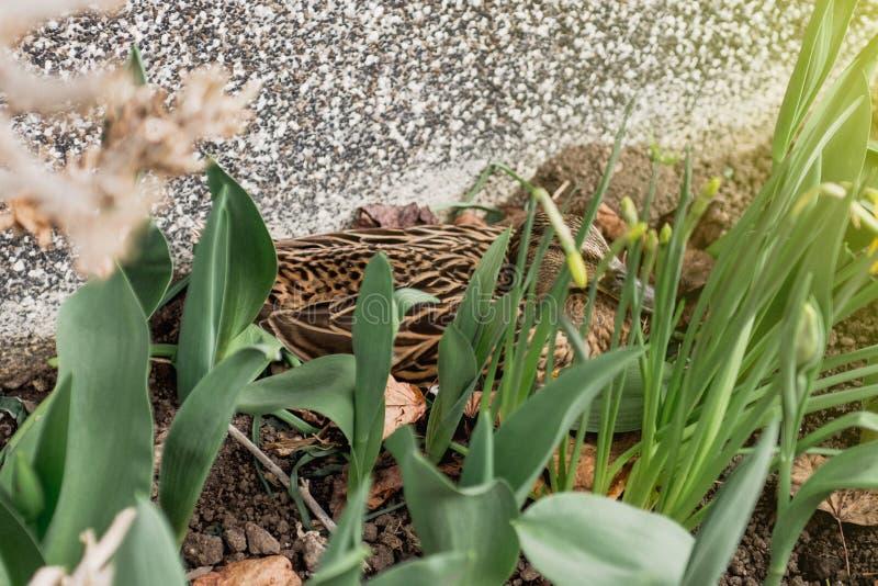 Vue de côté du broyage de canard de Mallard dans le jardin image stock