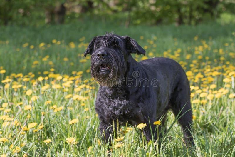 Vue de côté du chien noir géant de Schnauzer de barkong photographie stock libre de droits