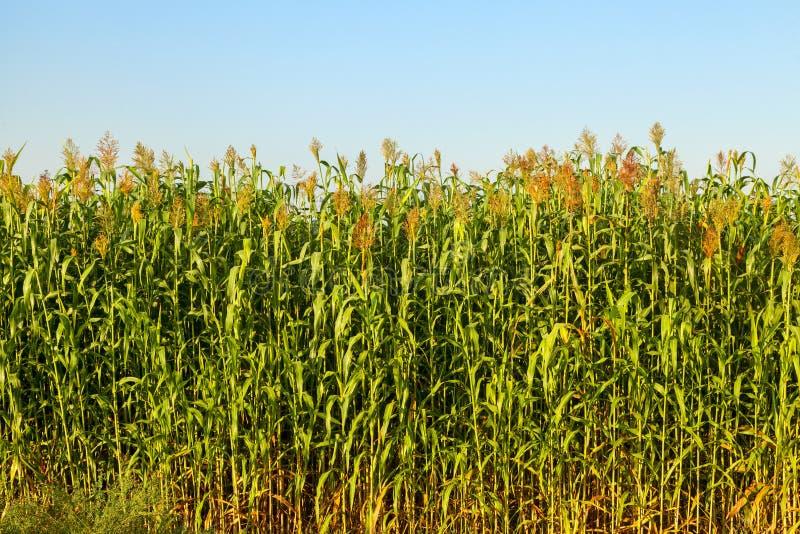 Vue de champ de maïs sur le lever de soleil image stock