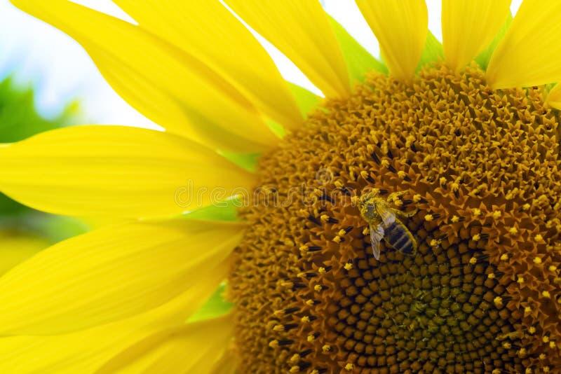 Vue de clôture de la pollinisation des abeilles, du magnifique tournesol, du processus de collecte du miel, du tournesol polinate photo stock