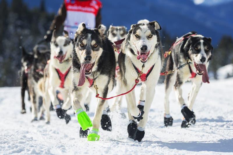 Vue de course de chien de traîneau sur la neige photo stock
