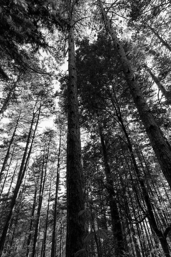 Vue de dessous des arbres grands dans un bois photo libre de droits