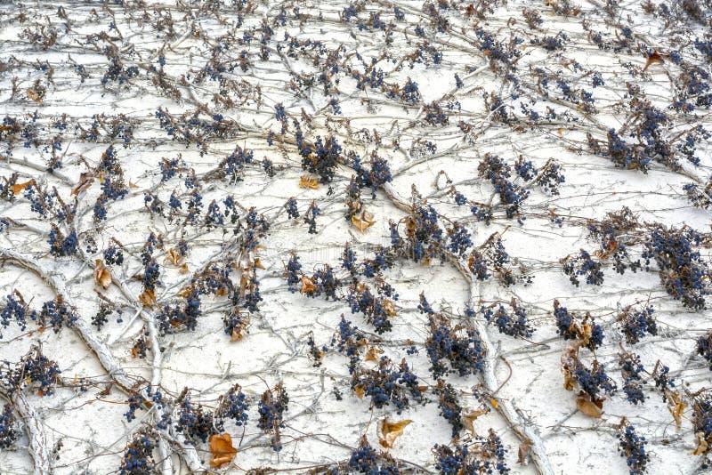 Vue de dessous sur le mur couvert de vigne des raisins sauvages photographie stock libre de droits