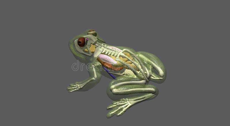 Vue de dessus d'anatomie de grenouille illustration de vecteur