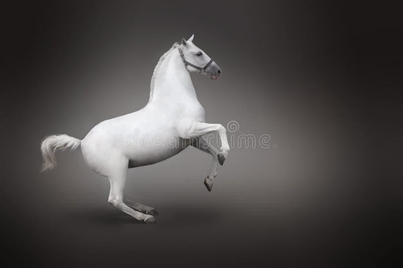 Vue de dos de cheval blanc d'isolement sur le noir photo stock
