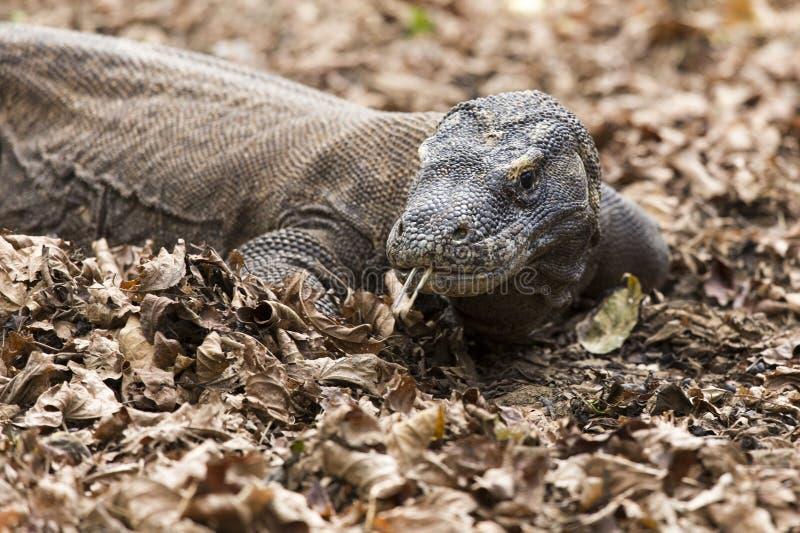 Vue de dragon de Komodo photo stock