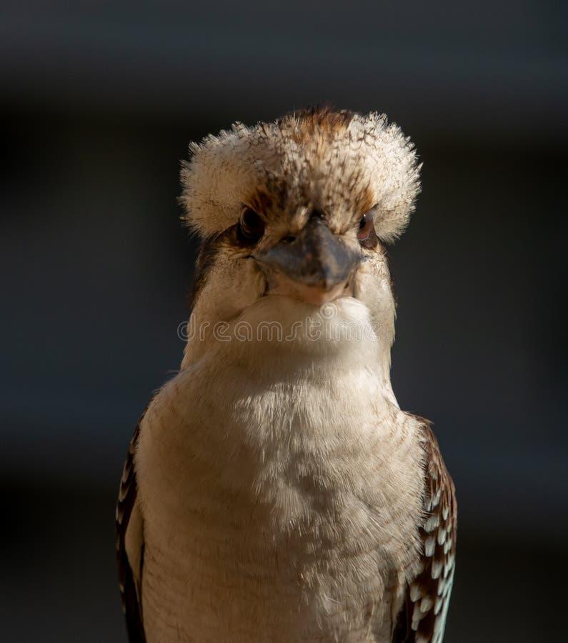 Vue de face d'oiseau australien de martin-chasseur photos libres de droits