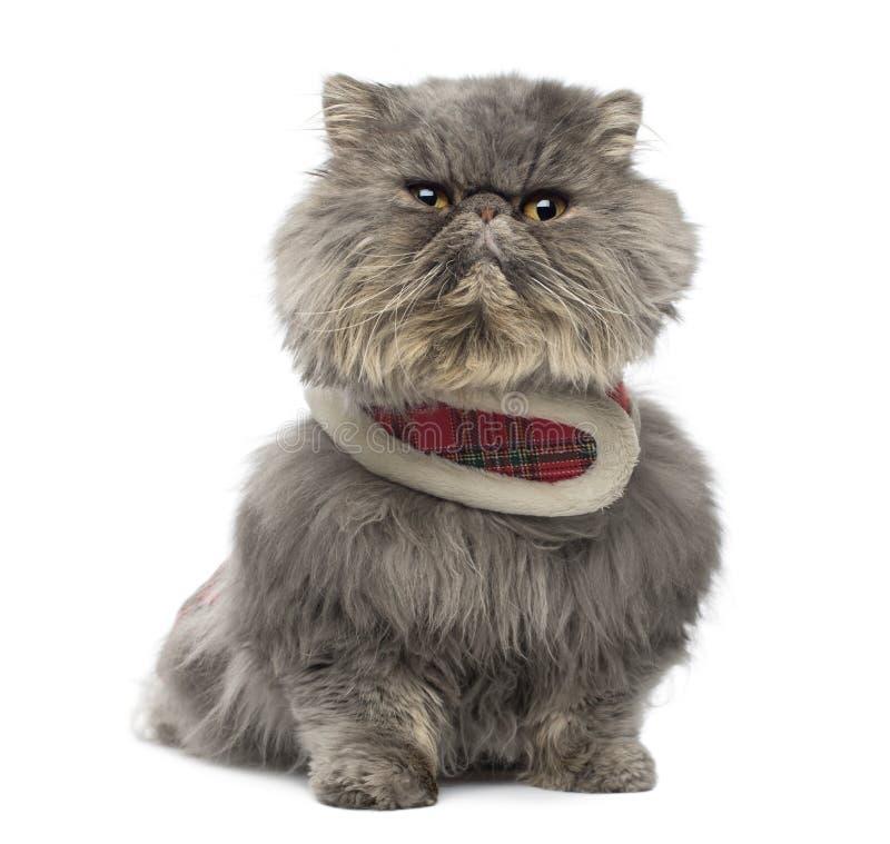 Vue de face d'un chat persan grincheux utilisant un harnais de tartan images stock