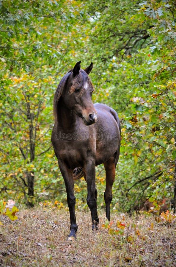 Vue de face d'une position Arabe de cheval de baie foncée dans une petite ouverture photos stock