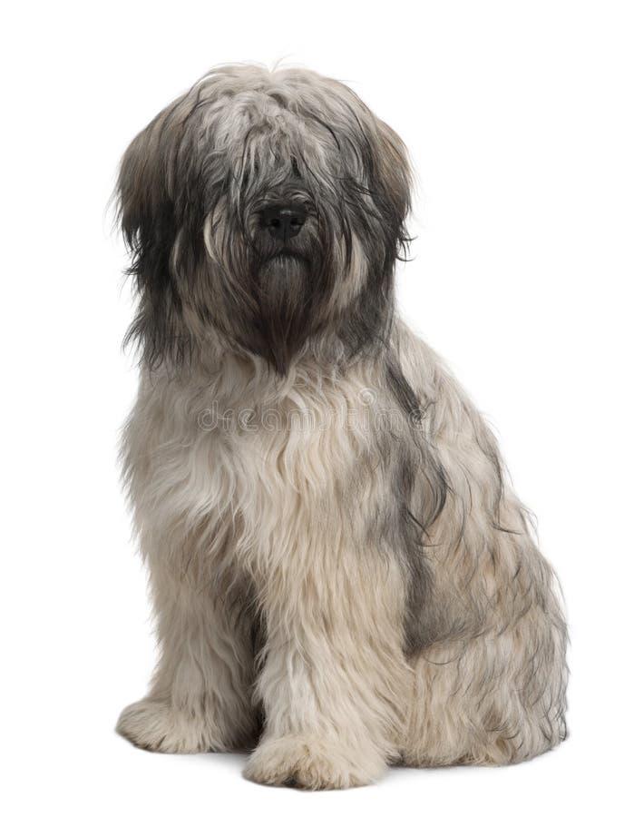 Vue de face de chien de berger catalan, se reposant photos stock