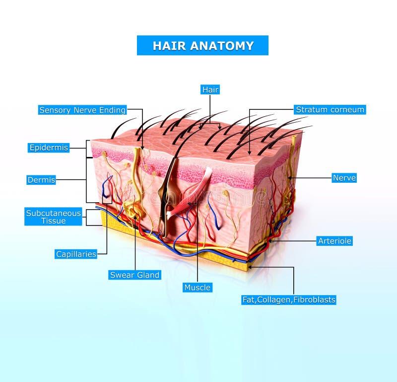 Vue de face de diagramme cutway de peau humaine illustration libre de droits