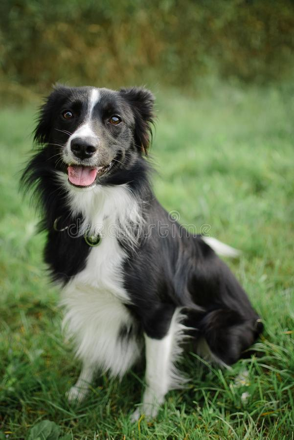 Vue de face du chien noir et blanc mignon se reposant sur l'herbe verte pendant le jour d'été photo libre de droits