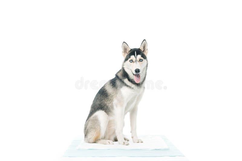 vue de face de la séance mignonne de chien images libres de droits