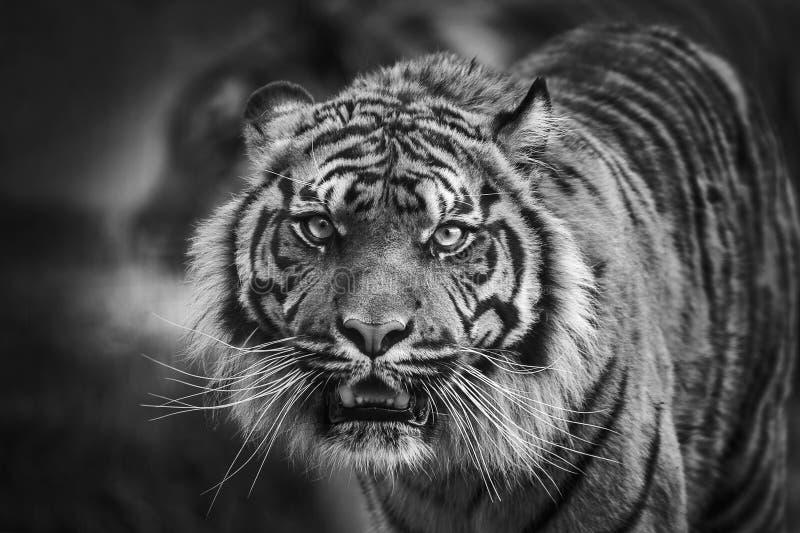 Vue de face de tigre image stock