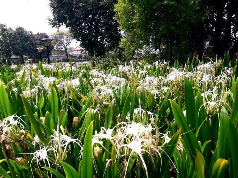 vue de fleurs de lis blanc photo stock