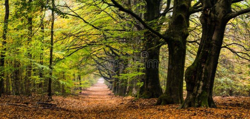 Vue de forêt de tunnel d'arbre aux Pays-Bas photographie stock libre de droits