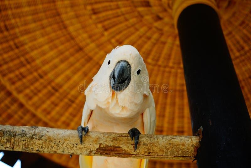 Vue de l'ara blanc de perroquet photographie stock