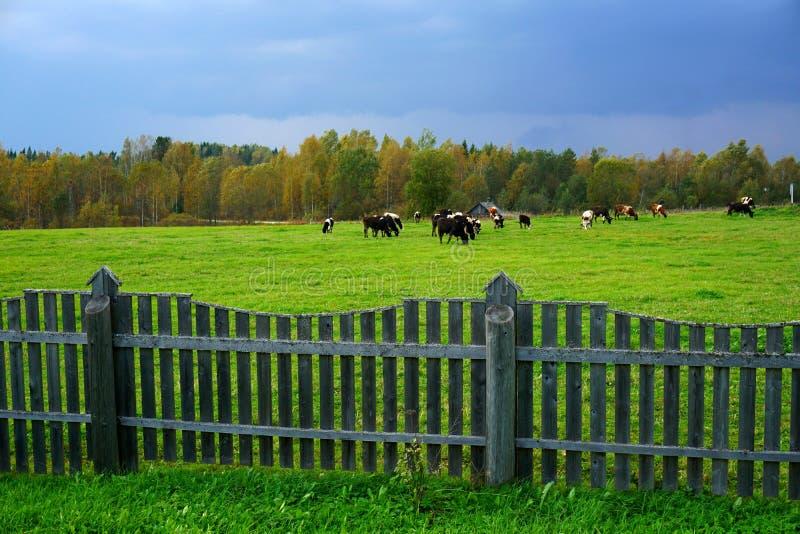 Vue de la barrière et des vaches en bois frôlant dans un pré images stock