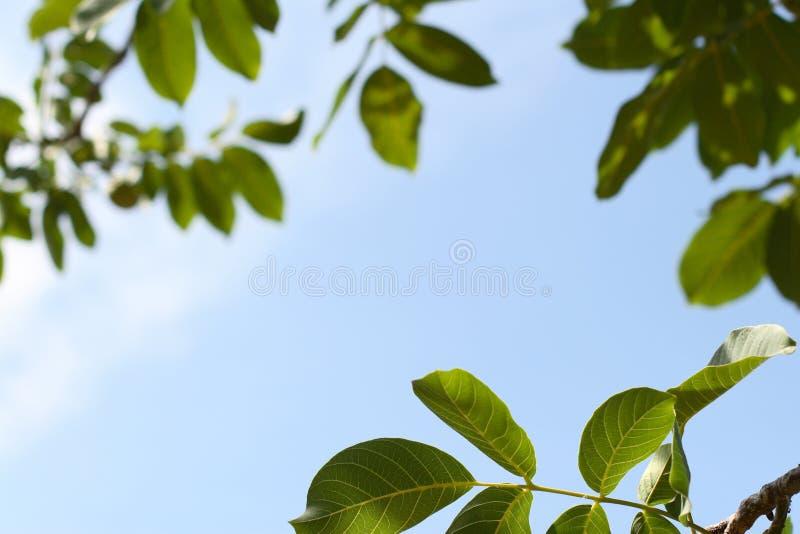 Vue de la feuille de la noix photo stock