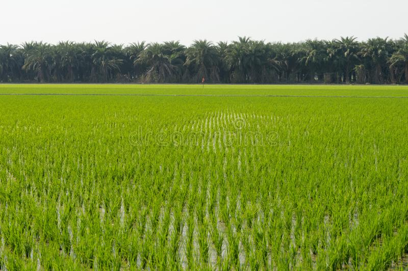 Vue de la jeune pousse de riz prête à dans le terrain de riz photos stock