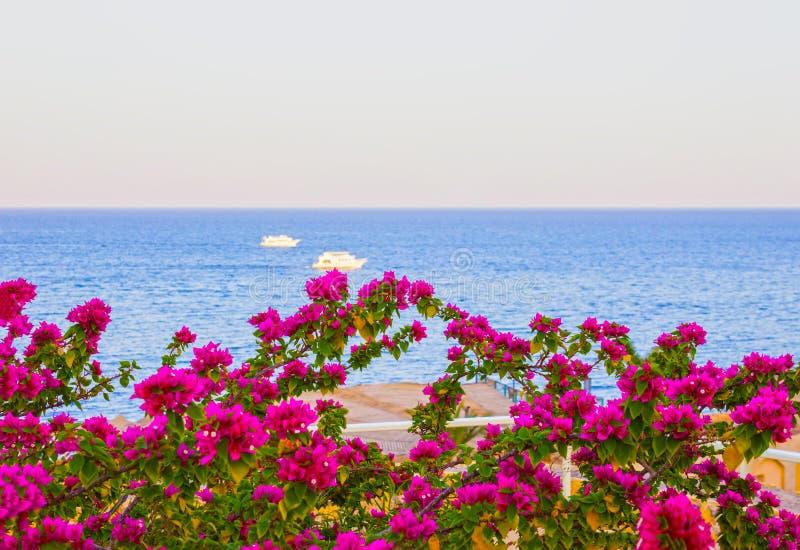 Vue de la Mer Rouge et des fleurs roses du sud à la station de vacances du Sharm el Sheikh en Egypte photographie stock libre de droits