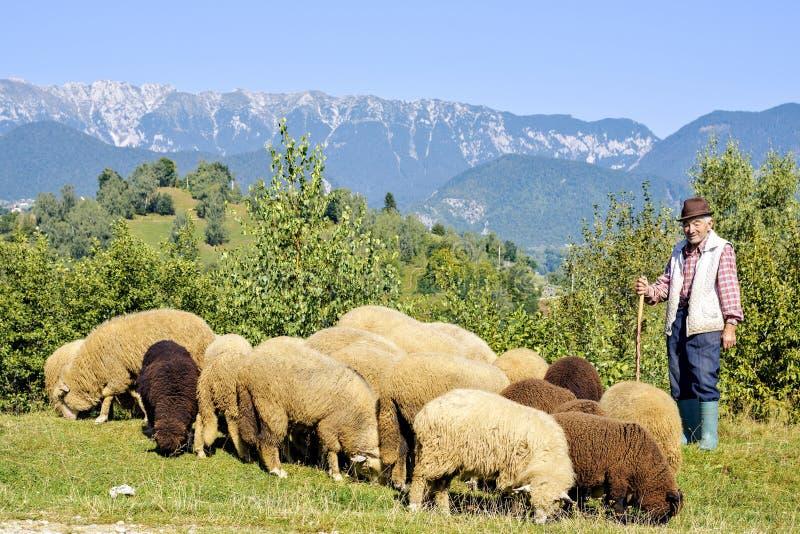 Vue de lumière du jour au vieux berger avec regarder des moutons fixement photographie stock libre de droits