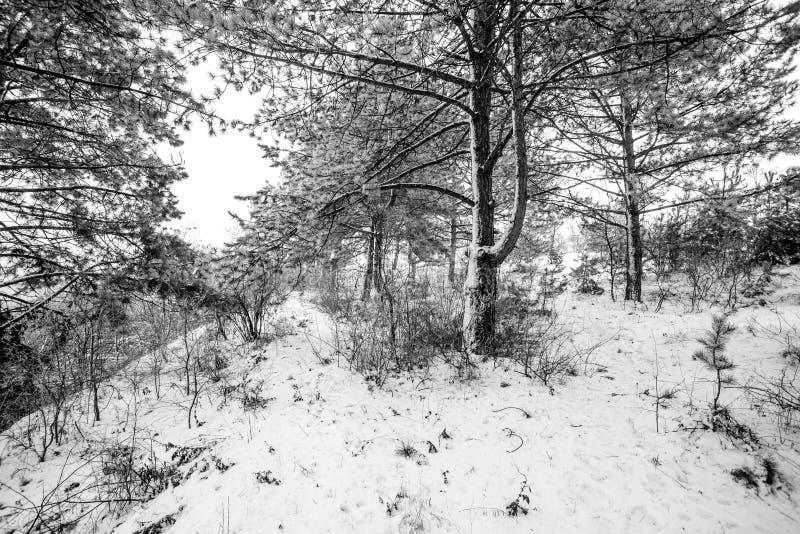 Vue de mouvement de forêt de pin de montagne à l'horaire d'hiver images libres de droits
