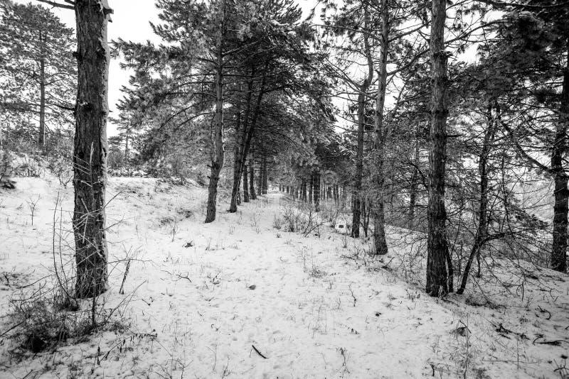 Vue de mouvement de forêt de pin de montagne à l'horaire d'hiver photographie stock libre de droits