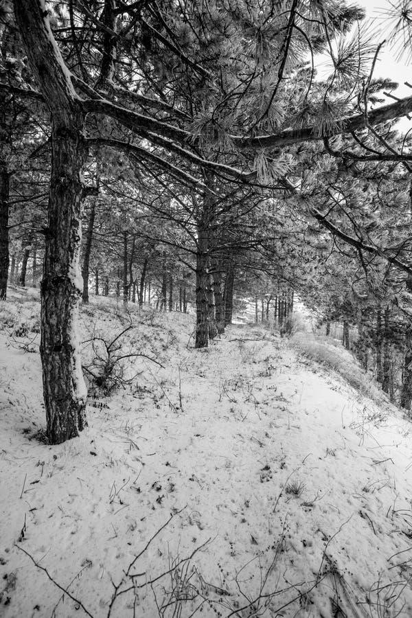 Vue de mouvement de forêt de pin de montagne à l'horaire d'hiver photos stock