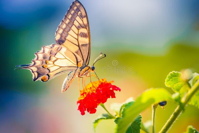 Vue de nature d'été d'un beau papillon avec le pré coloré Scène merveilleuse d'été sous la lumière du soleil photos libres de droits