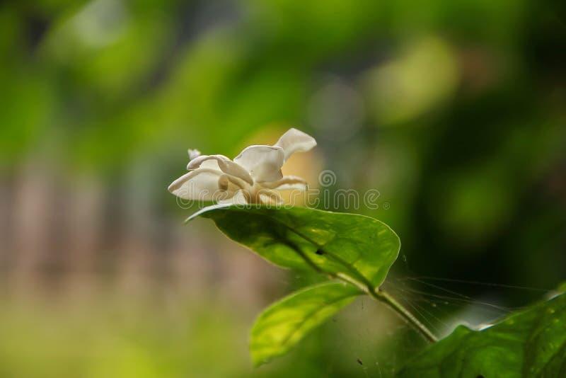 Vue de nature de plan rapproché de fleur de jasmin dans le jardin à l'été sous la lumière du soleil photographie stock libre de droits