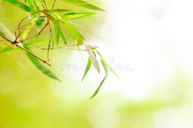 Vue de nature de plan rapproché de forêt de bambous de feuille verte sur la tache floue de fond photos libres de droits