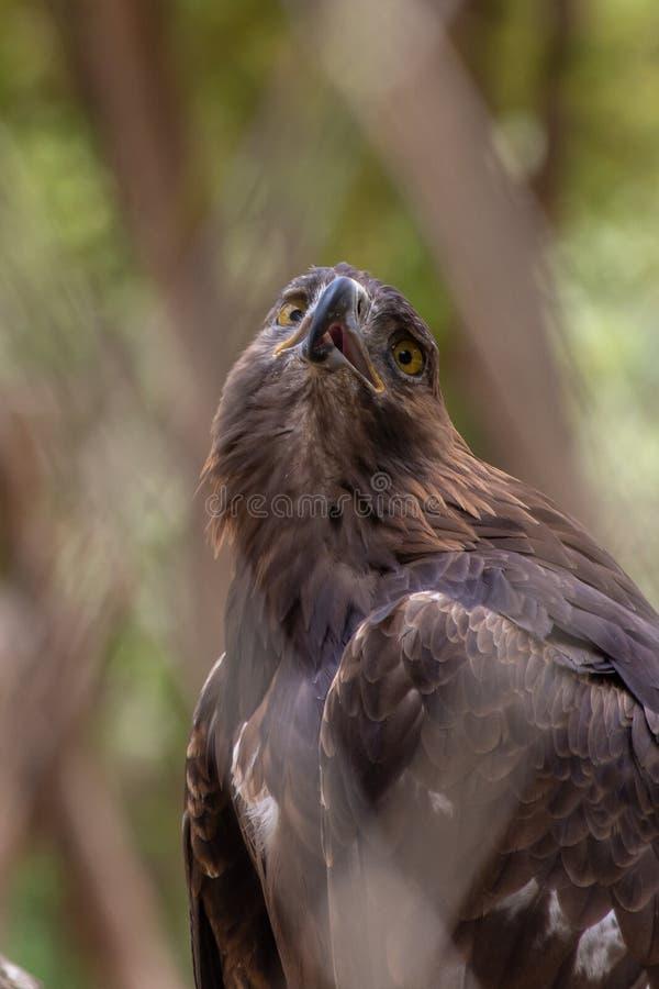 Vue de nipalensis d'Eagle Aquila de steppe par une barrière de diamant regardant au ciel image stock