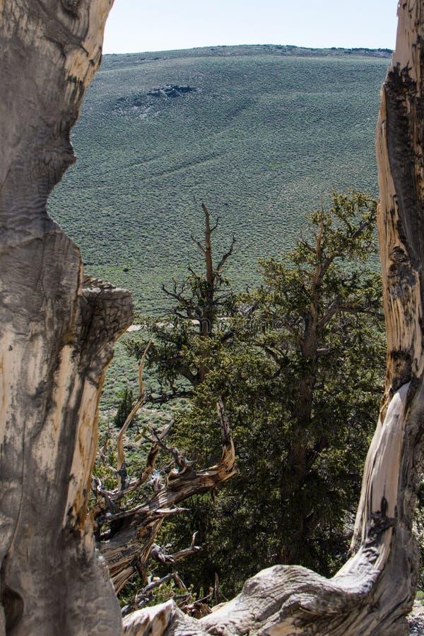 Vue de pin antique de Bristlecone des montagnes blanches en Californie photo stock