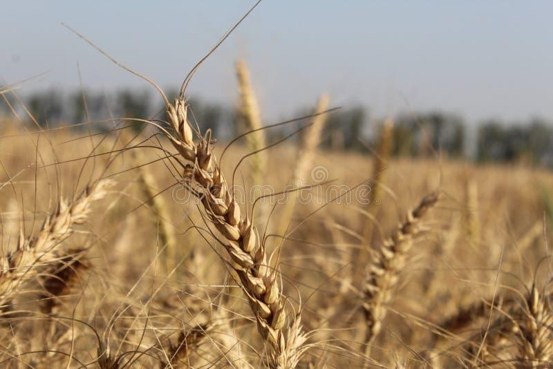 Vue de plan rapproch? de bl? d'or de beaucoup d'usines dans une grande ferme un jour ensoleill? photo stock