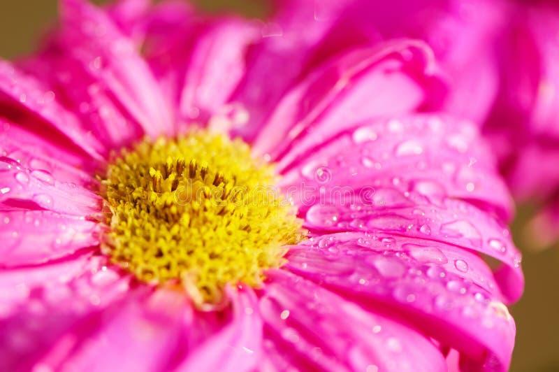 Vue de plan rapproché de détail à la fleur de cosmos Printemps en nature photographie stock libre de droits