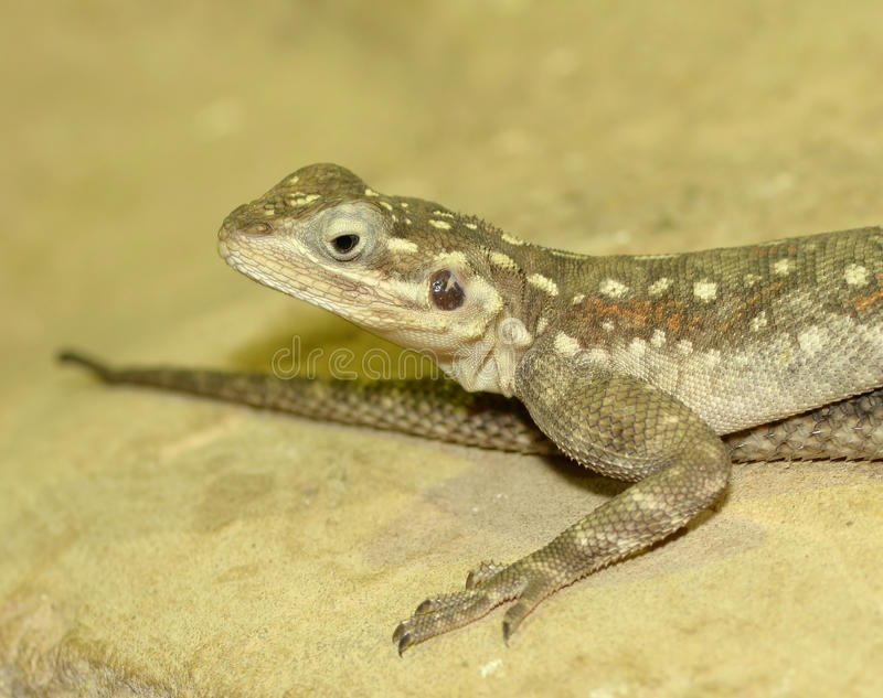 Lézard commun d'agame images stock