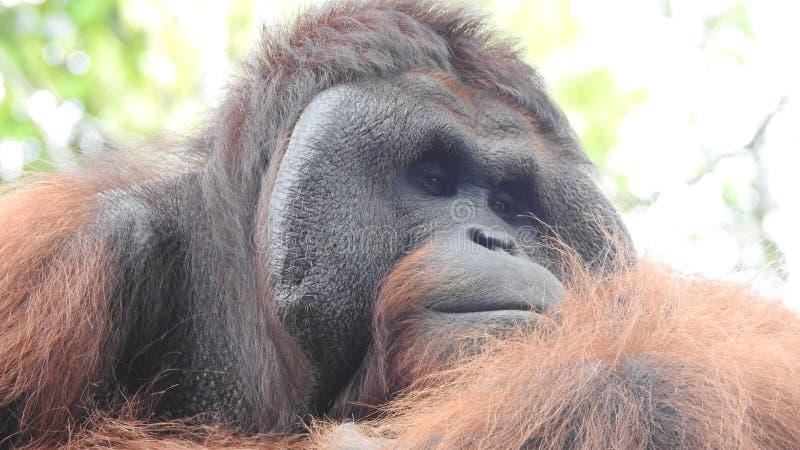 Vue de plan rapproché d'orang-outan photographie stock