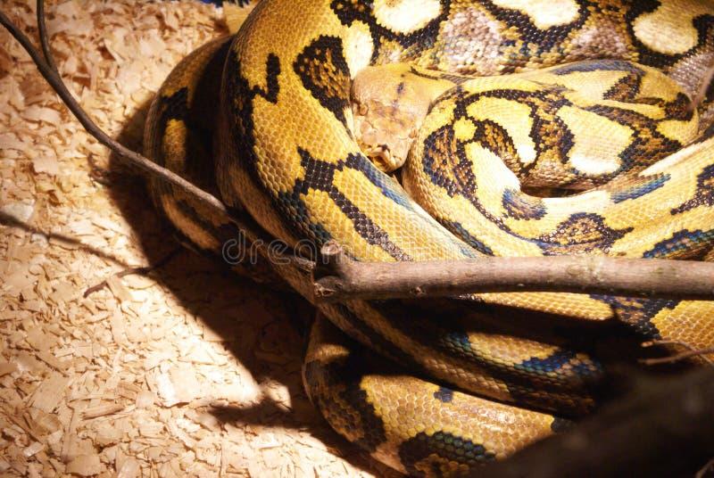 Vue de plan rapproché d'un serpent image libre de droits