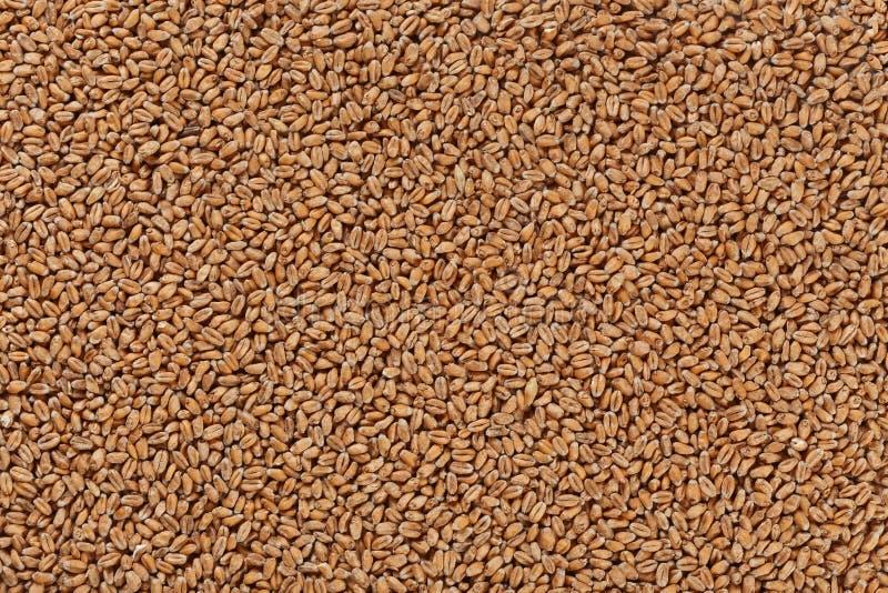 Vue de plan rapproché de Pale Pilsener Malt Grains Ingrédient pour la bière image stock