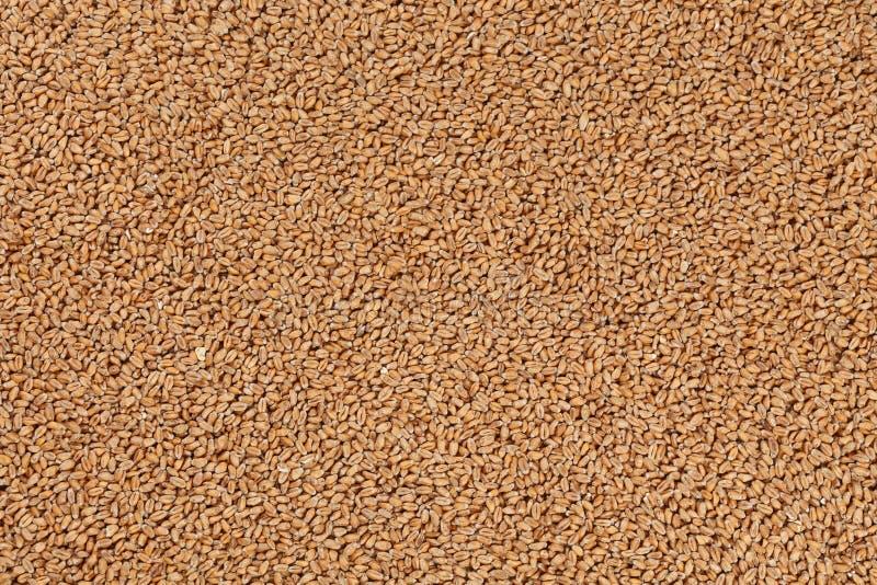 Vue de plan rapproché de Pale Pilsener Malt Grains Ingrédient pour la bière photographie stock