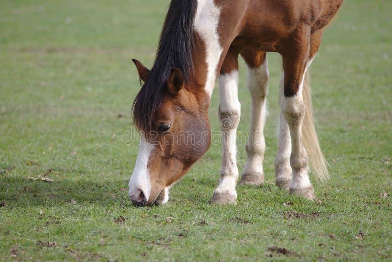 Vue de plan rapproché du beau cheval brun de pinto mangeant l'herbe photographie stock libre de droits