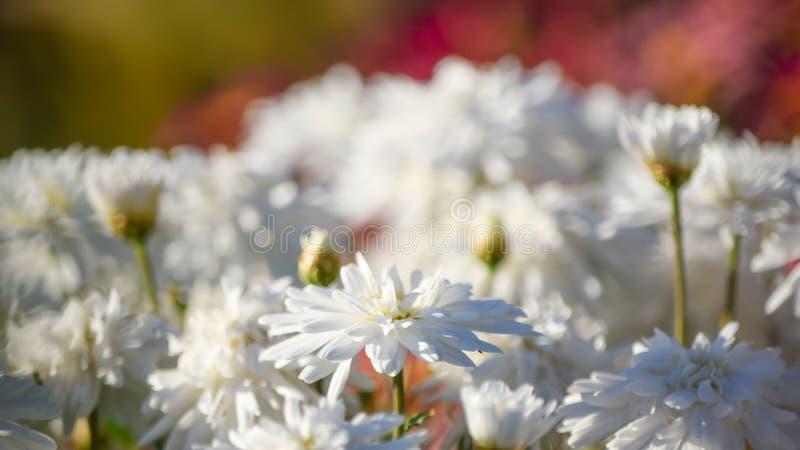 Vue de plan rapproché de la floraison de fleurs blanches image libre de droits