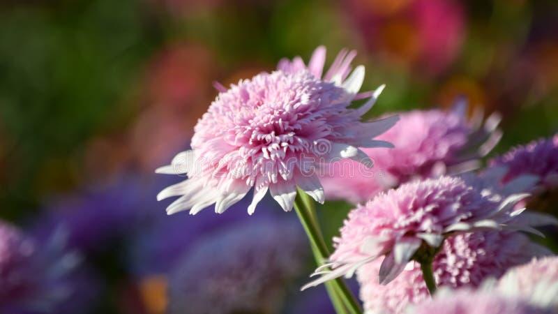 Vue de plan rapproché de la floraison pourpre de fleurs image stock