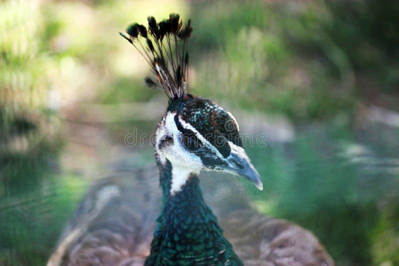 Vue de plan rapproché de la tête d'un paon, ou du peafowl, détaillant le coloré photographie stock